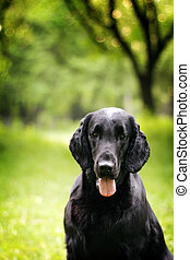 black dog flat-coated Retriever summer outdoors portrait...