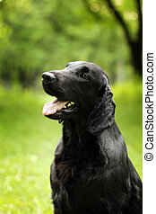 black dog flat-coated Retriever summer outdoors looking in...