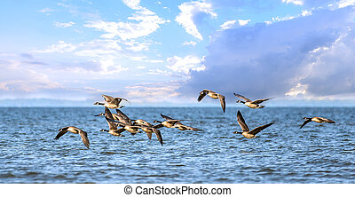Flock of Canada Geese flying low over Chesapeake Bay