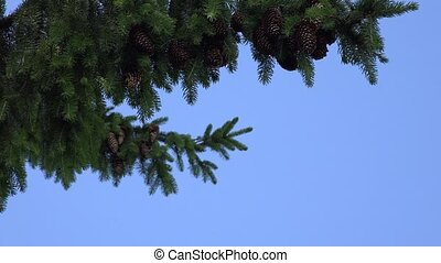 fir branch with cones swings in wind on blue sky background....