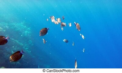 Goup of butterfly fish on coral reef against deep blue sea...