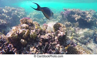 Coral and fish in the Red Sea. Egyp - Coral and fish in the...