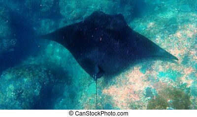 Manta Ray swims in ocean wildlife - Snorkeling with giant...