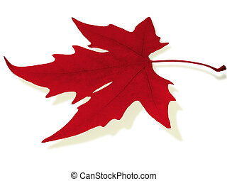 red maple leaf isolated on white...