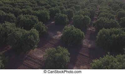 Aerial view of orange tree field in flat color, backlight -...