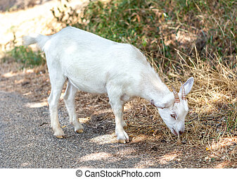 Little white goat eating wet grass - Little white goat...