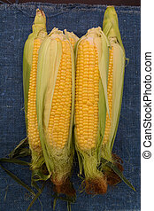Several young corncobs - several corncobs on rough blue...