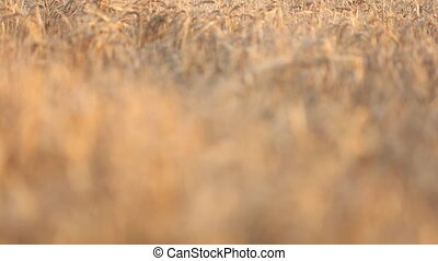 wheat field closeup - wheat field with shallow depth of...