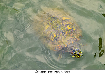 A turtle in water, view from above