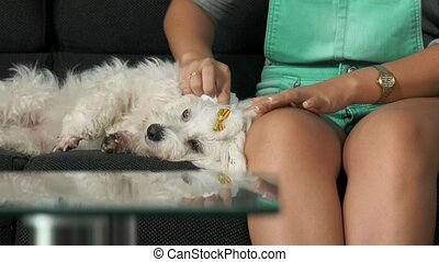 17-Woman Pet Owner Cleaning Ear To Small White Dog - Pets,...