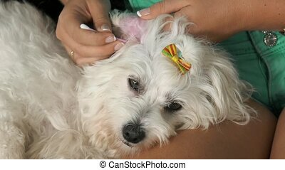 20-Woman Pet Owner Cleaning Ear To Dog With Cotton Wool -...