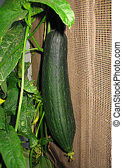 Loofah Plant 3 - A green loofah gourd and plant in a home...
