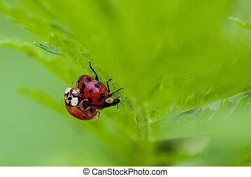 Macro of Two Mating Ladybugs - Macro shot of 2 lady bugs...