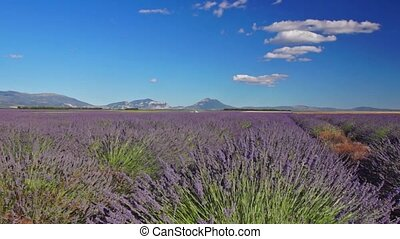 Lavender field - Panoramic view of lavender field in...