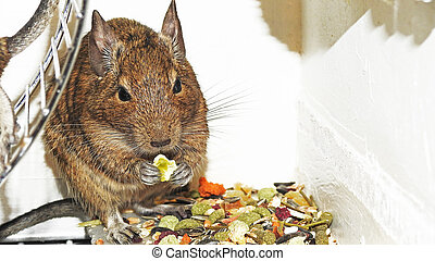 Degu. - Small and funny Australian home pet Degu.
