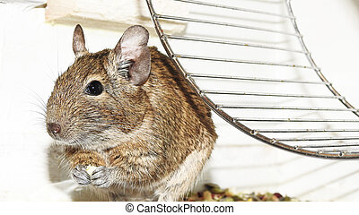 Degu - Small and funny Australian home pet Degu