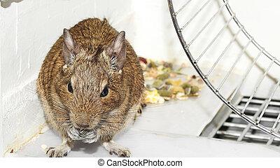 Degu. - Small and funny Australian home pet Degu.