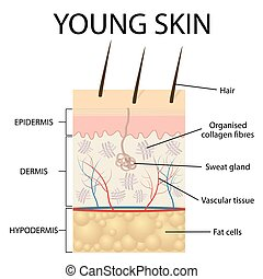 Visual representation of young skin. - Young skin. Collagen...