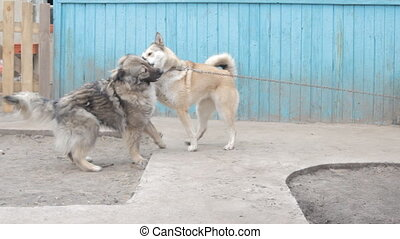 Playful fighting between dogs