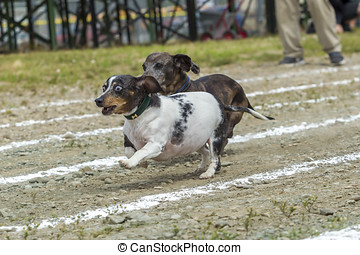 Wide eyed Dachsund out in front. - Two dachsunds racing in...