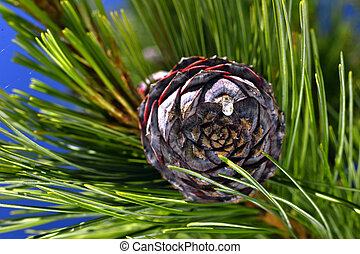 Pine branch on a branch close-up coniferous tree