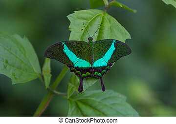 Emerald Swallowtail Butterfly on a leaf Papilio palinurus