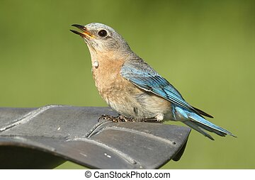 Eastern Bluebird (Sialia sialis) Drinking - Female Eastern...