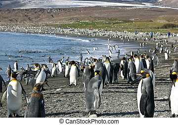 Colony of King Penguin in South Georgia - Big colony of king...