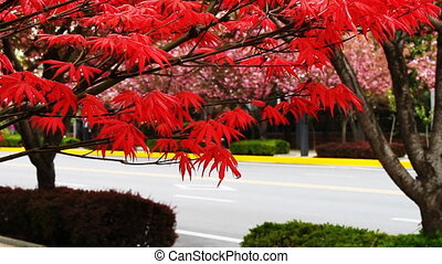 maple and cherry blossom 2