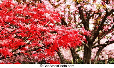 maple and cherry blossom 1