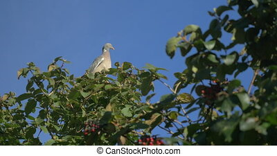 Pigeon sitting on the tree - Pigeon sitting quietly on...