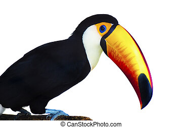 Toucan - A beautiful portrait of a toucan against a white...