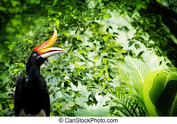 Hornbill - Borneo exoctic great hornbill in tropical...