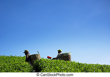 Harvest tea leaves - Two farmers working in tea farm,...