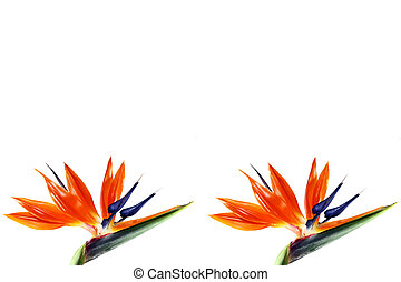 two bird of paradise flower on white background