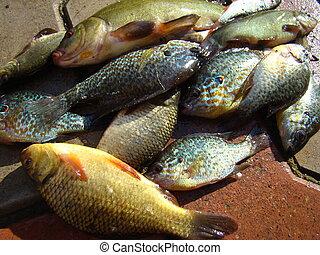 Stockfotografie von fische flu arten arten von flu for Fische arten