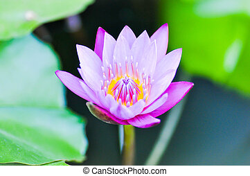 purple lotus in the pond - florescent purple lotus in the...