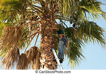 Arborist working up palm tree. - Arborist working up a palm...