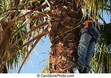 Tree trimmer working up a palm tree - Tree trimmer reoving...