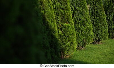 white cedars. thuya in garden. - white cedars in the garden.