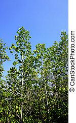 forest mangrove vertical in chantaburi, Thailand