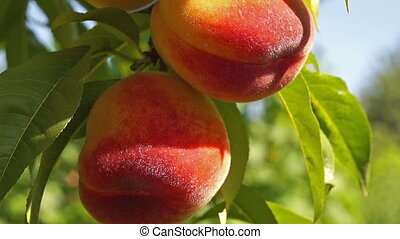 close up peach - close up of the ripe fruit peach