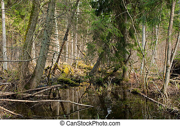 Broken trees lying in spring in deciduous stand of...
