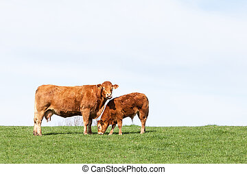 Brown Limousin beef cow and her grazing calf on the skyline against a hazy sky