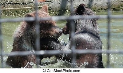 Brown bears in zoo. Playing bears. Slow motion