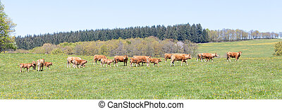Panorama landscape with Limousin beef cattle walking across a pasture