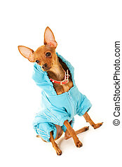 Dog fashion - Close-up of small Chinuahua dog in blue...