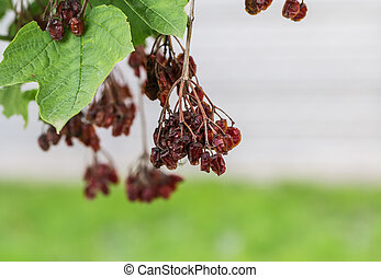 dried berries on a tree, on a grass background