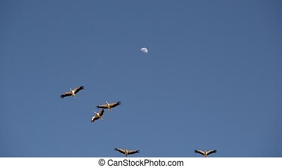 flock of birds, storks flying against the blue sky