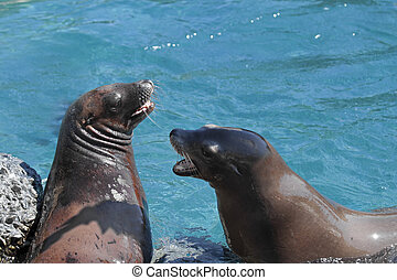 Sea lions - Californian Sea lions in the water, fighting